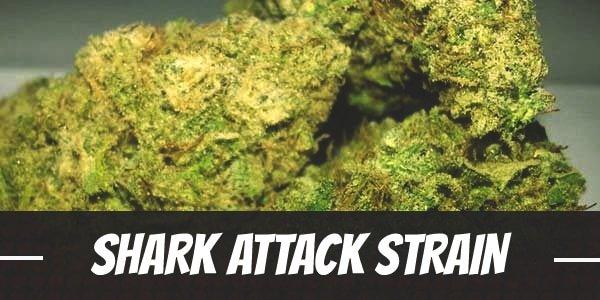 Shark Attack Strain