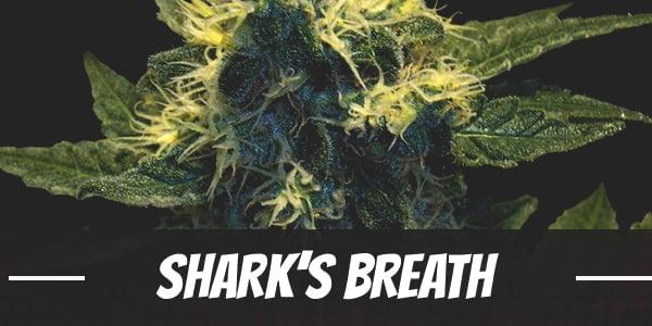 Shark's Breath