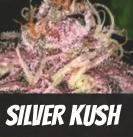 Silver Kush Strain
