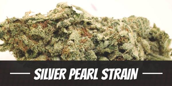 Silver Pearl Strain
