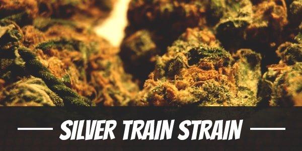 Silver Train Strain