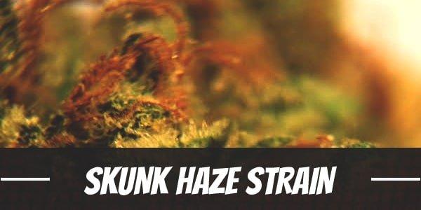 Skunk Haze Strain