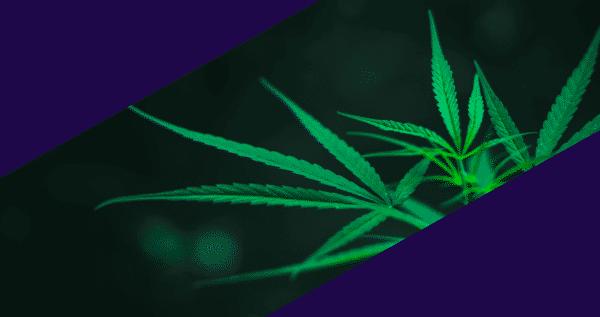 Slurricane-Marijuana-Strain