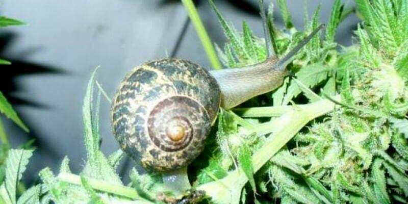 Snails and slugs on cannabis plants