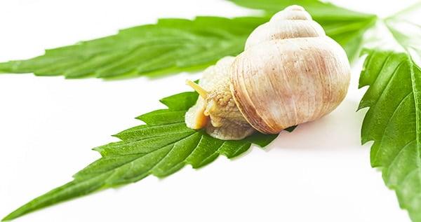 Snails slugs on cannabis plants