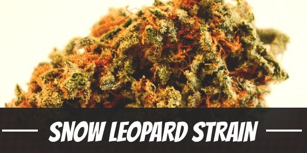 Snow Leopard Strain