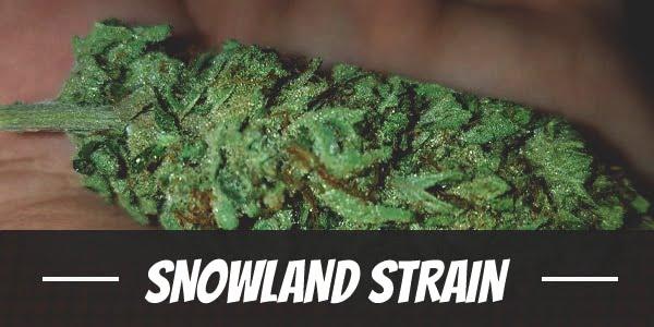 SnowLAnd Strain