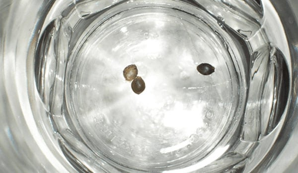 Soak marijuana seeds in water