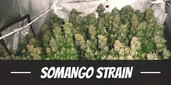 Somango Strain
