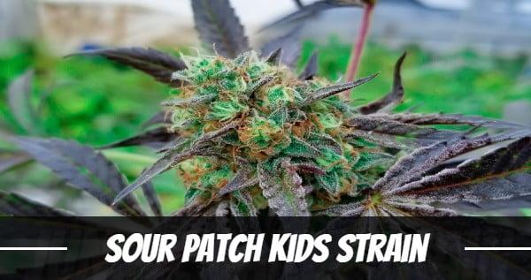 Sour Patch Kids Strain