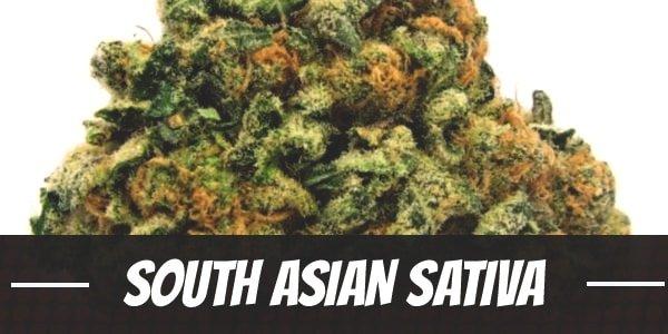 South Asian Sativa