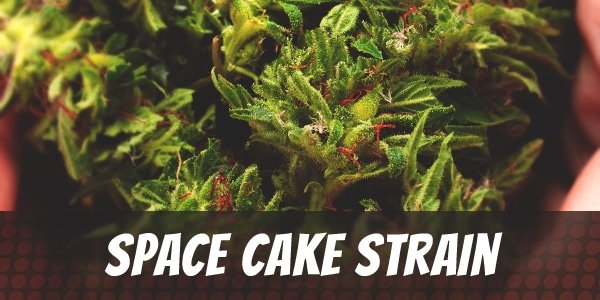Space Cake Strain