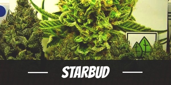 Starbud