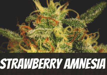 Strawberry Amnesia