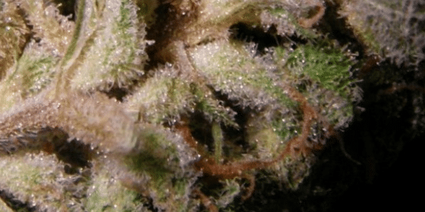 Strawberry Cough Fragrance