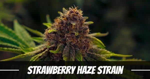 Strawberry Haze Strain