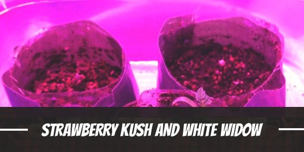 Strawberry Kush And White Widow