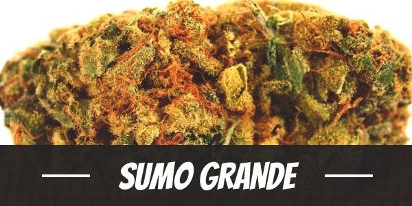 Sumo Grande