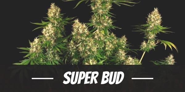 Super Bud