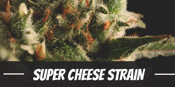 Super Cheese Strain