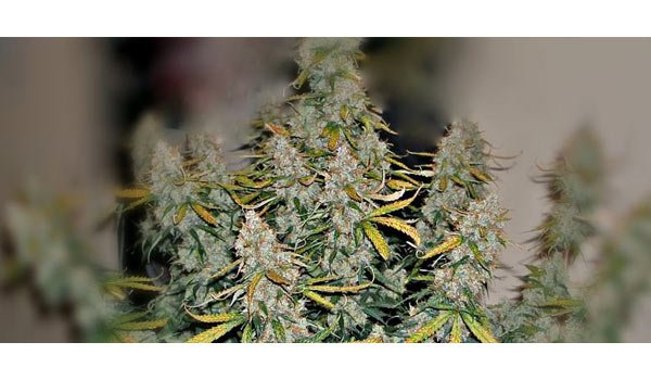 Super autoflower strain