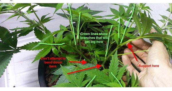 Super cropping your cannabis plant