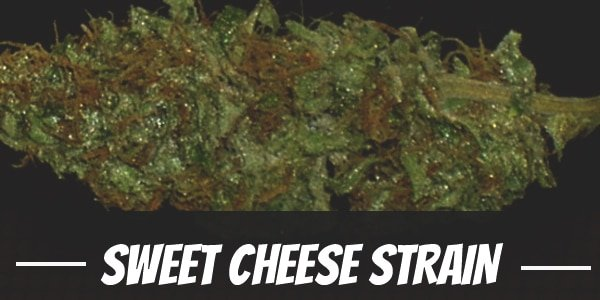 Sweet Cheese Strain