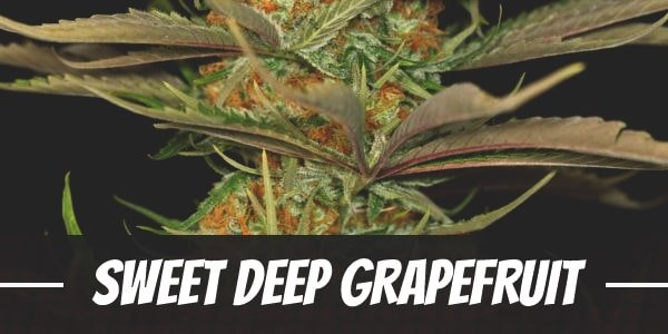 Sweet Deep Grapefruit