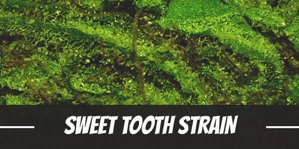 Sweet Tooth Strain