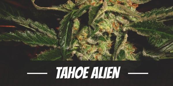 Tahoe Alien