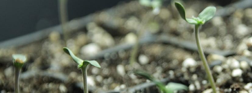 Tahoe Kush Growing