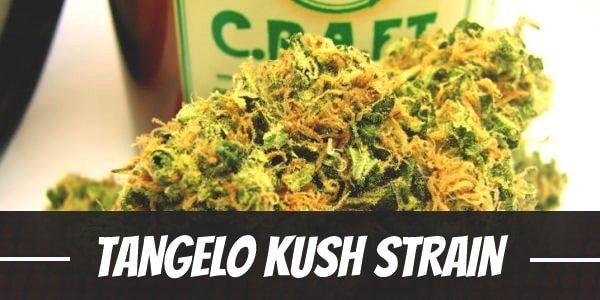 Tangelo Kush Strain