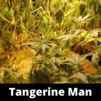 Tangerine Man Strain