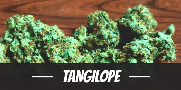 Tangilope
