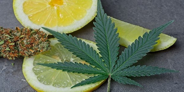 Terpenes affect cannabis flavor
