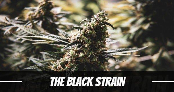 The Black Strain