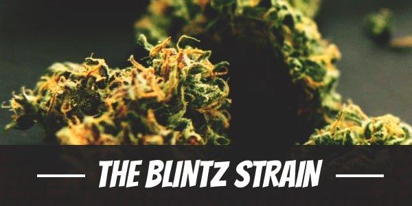 The Blintz Strain