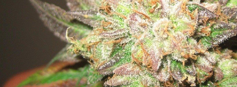 The Growing Of Cotton Candy Kush