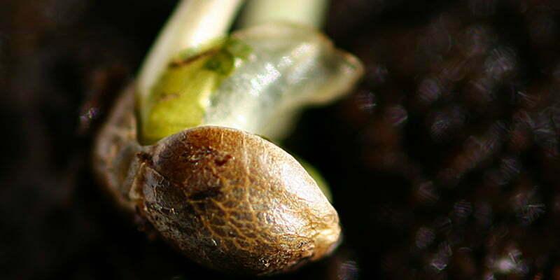 The advantage of germinating outdoor marijuana plants indoors