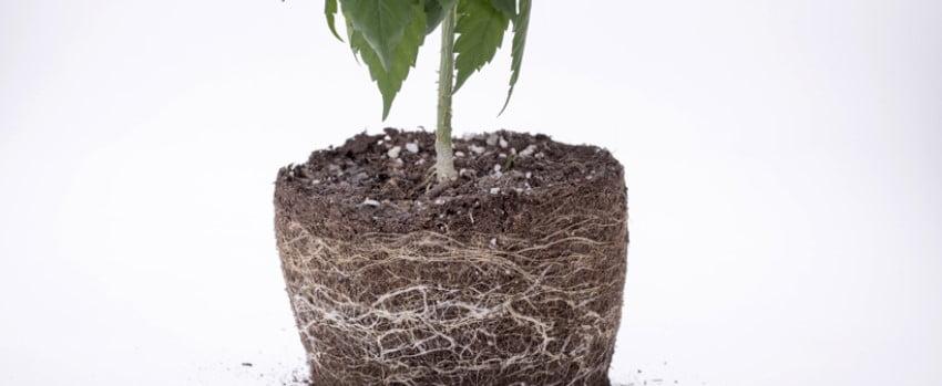 The marijuana root system