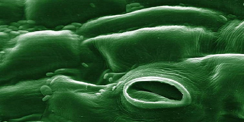 The structure and function of stomata