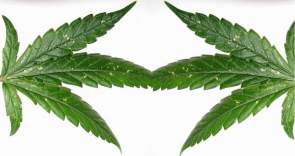 Thrips On Marijuana Plant