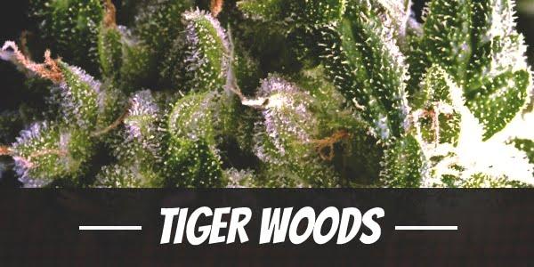 Tiger Woods Strain