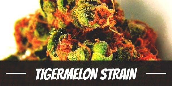 Tigermelon Strain