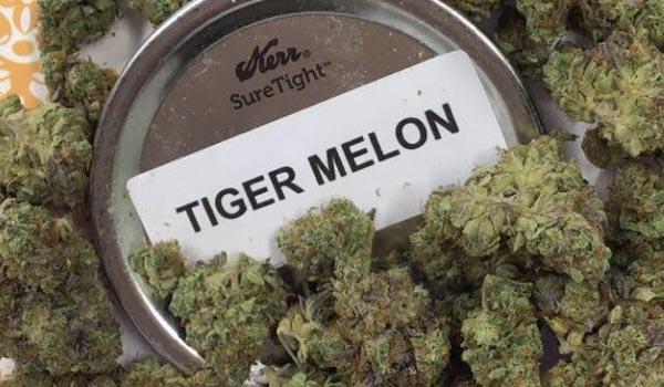 Tigermelon Strain Medical