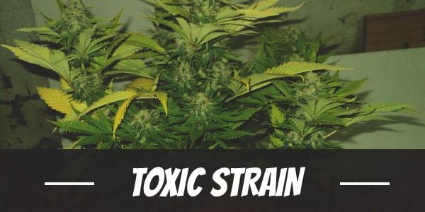 Toxic Strain