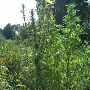 rails when growing cannabis