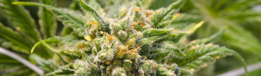 hybrid sativa cannabis plant