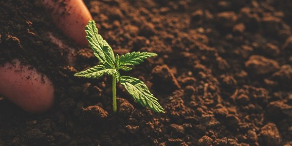 Transplanting Marijuana Plants