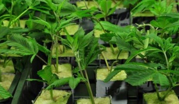 Transplanting clones